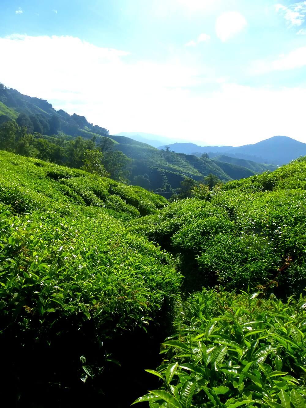Teeplantage grüner Tee