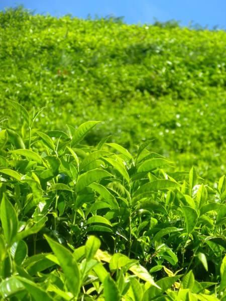 Teeplantage Asien