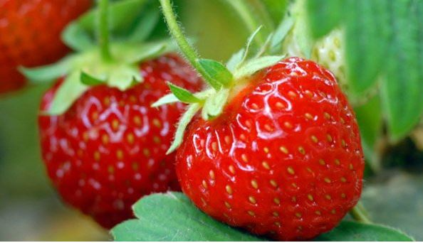 Erdbeermarmelade Erdbeeren
